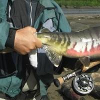 Pescando entre osos; salmones en Alaska